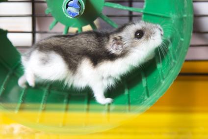 Hamster im Rad